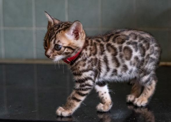 Super bengal kittens available .