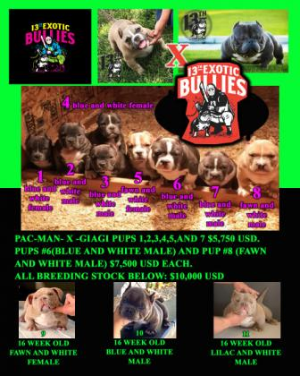 Rare and Exotic Micro American Bully pups!